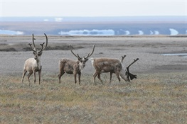Congressional Efforts to Open up Arctic National Wildlife Refuge Would Despoil One of America's Most Pristine Places