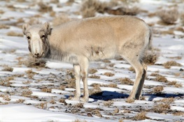 A Deadly Virus is Killing Saiga Antelope in Mongolia