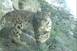 The Snow Leopard – World's Most Mysterious Big Cat – May Be More Common than Thought