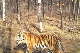 Shadow of a Cub Brings More Hope for Tigers in Russia