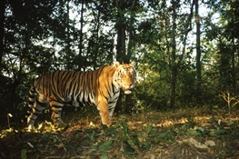 With Help, Tigers Clawing Back in Southeast Asia