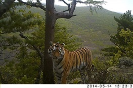 Study: Wild Tigers Struggle with Work/Life Balance