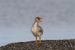 Caspian terns discovered nesting 1,000 miles farther to the north than ever recorded in Alaska