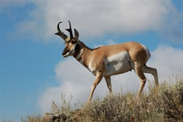 Behavioral Study of Greater Yellowstone Pronghorn Finds Highway Crossing Structures a Conservation Success