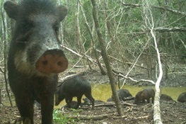 PIGS IN TROUBLE: Scientists Document Collapse of Central America's White-Lipped Peccary