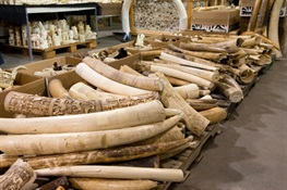 Ban on Wildlife Trafficking, Ivory Sales Passes Hawaii Legislature