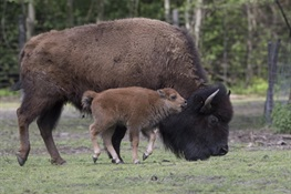 Six Pure Bison Calves Born at WCS's Bronx Zoo