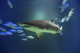 Ocean Wonders: Sharks! to Open Sat., June 30 at WCS's New York Aquarium