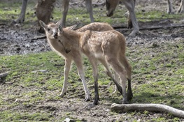 Bronx Zoo Welcomes Four Père David's Deer Fawns