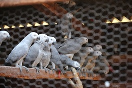 WCS Releases Heartbreaking Video of Rescued African Gray Parrots Destined for Pet Trade