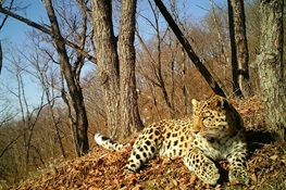 Canine Distemper Confirmed in Far Eastern Leopard, World's Most Endangered Big Cat