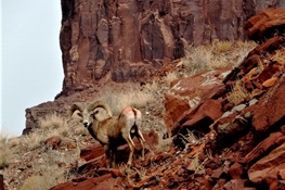 Good News From the Navajo Nation - Scientists Succeed in Tagging Nearly 100 of their Most Iconic of Wild Animals – the Tsétah dibé