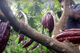 Planting Cocoa to Save Forests in Makira, Northeastern Madagascar
