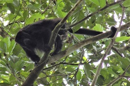 WCS's Queens Zoo Helps Howler Monkeys Thrive in Belize