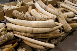 WCS Praises California Senate for Passing Ivory Ban