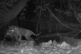 CLIMATE CONFLICT: Rare Footage Captured of Jaguar Killing Ocelot at Waterhole