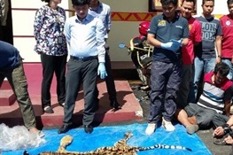 Three Men Selling a Tiger Skin Arrested in West Lampung, Indonesia