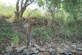Media Note: New Video Shows Reduction in Leopard/Human Conflict in Mumbai's Sanjay Gandhi National Park