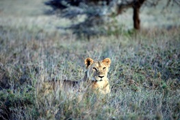 Are Vulnerable Lions Eating Endangered Zebras?