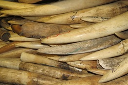 Government of Mozambique to destroy ivory and rhino horn