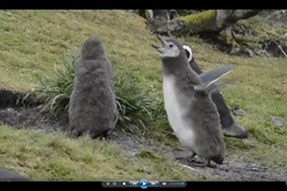 WCS Releases Adorable Tumbling Toddler Penguin Video in time for Penguin Awareness Day
