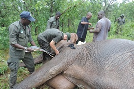 Six Elephants Fitted with GPS/Satellite Collars in August/September to Further Reinforce Ongoing Protection Efforts in Yankari Game Reserve