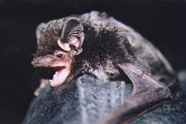 Night Callers: Scientists Listen in on Bats in the Bronx