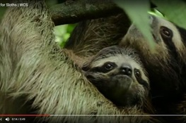 WILDLIFE EMERGENCY: WCS Says Sloths in Desperate Need of Raingear