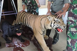 Major Tiger Trader Busted in Indonesia—Faces 5 Years in Prison and $10,000 USD Fine