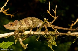 WELCOME TO THE WORLD: New Chameleon Emerges from Wilds of Tanzania