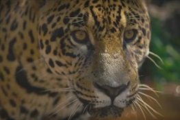 """Big Cats: Predators under Threat"" Watch the Official PSA for UN World Wildlife Day 2018"