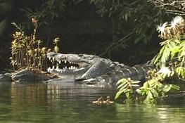 Newswise: Yes, Even Crocodiles Go Through Puberty