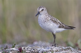 The Inside Story of Shorebird Guts