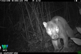 Newswise: The Secret Lives of Sulawesi's Civets