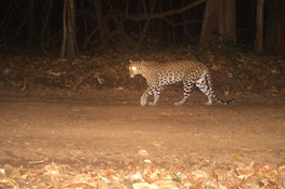 Are Southeast Asia's Leopards Declining?