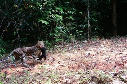 A Leopard Kills a Sun Bear