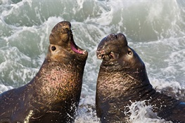 Northern Elephant Seals Loud Regardless of Background Noise Levels