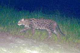 Cat Claw Conundrum Confuses Conservationists
