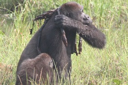 Newswise: Gorilla in mourning