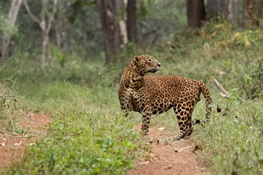 Newswise: Leopards Can be Fussy Eaters