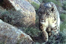Snow Leopards Get a Game Plan