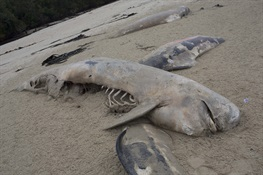 Post Mortem of a Whale Stranding