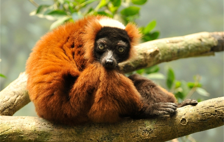 1 Julie Larsen Maher_Red-ruffed lemur