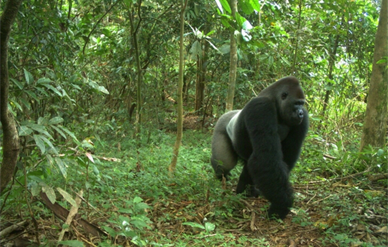 Cross River gorilla CREDIT: WCS