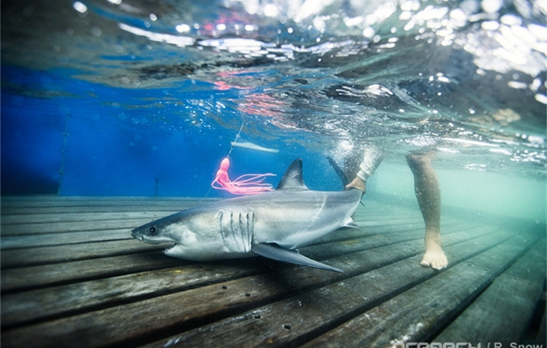 OCEARCH Honors Partnership with WCS by Naming Tagged Shark -- Teddy