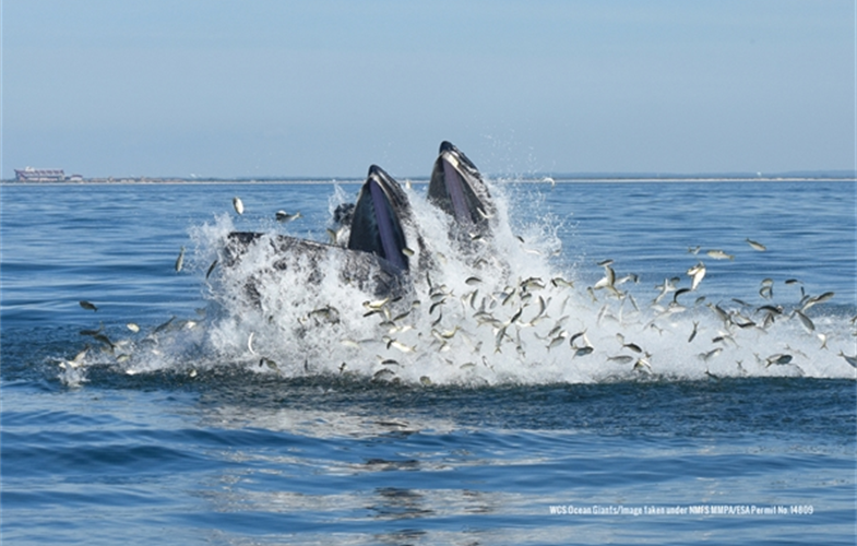 Lunge-feeding humpback whales. CREDIT: WCS Ocean Giants/Image taken under NMFS MMPA/ESA Permit No. 14809
