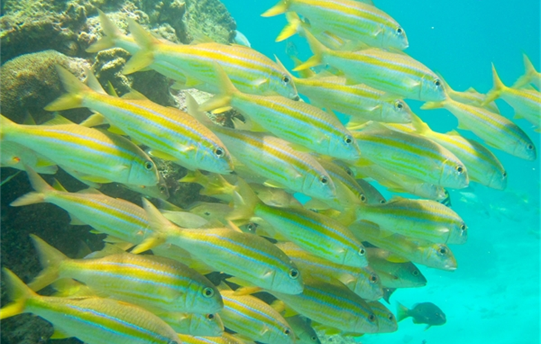 A school of yellow-lined goatfish. CREDIT: Tim McClanahan/WCS