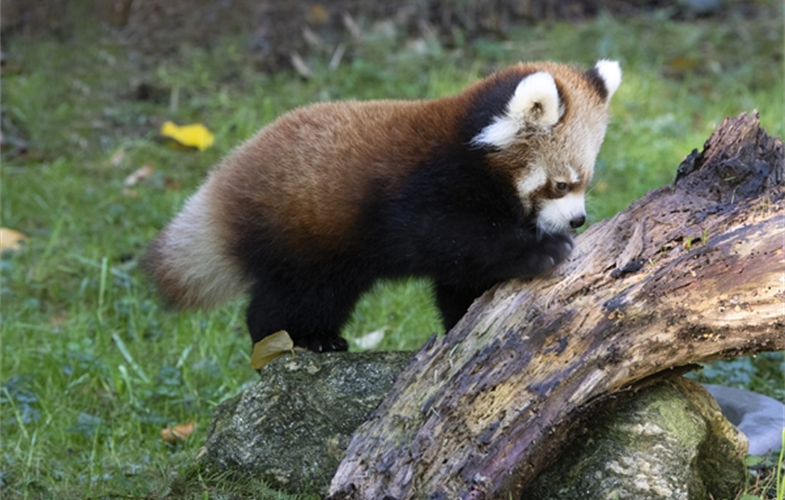 Julie Larsen Maher_1645_Styan's Red Panda and Cubs_PPZ_10 24 19.JPG