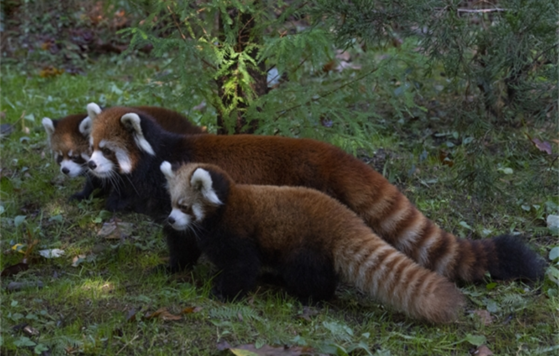 Julie Larsen Maher_1794_Styan's Red Panda and Cubs_PPZ_10 24 19.JPG