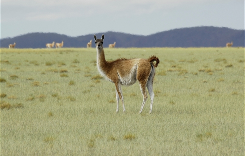 A guanaco in Argentina's Payunia Reserve. CREDIT: Julie Larsen Maher/WCS